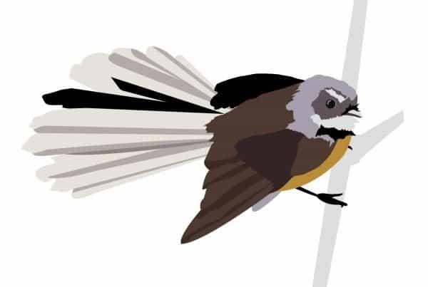 Fantail Illustration in vector